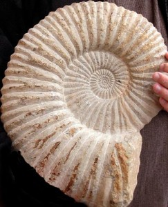 ammonite400