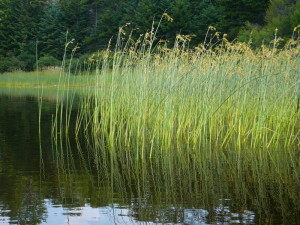 Bullrushes (Scirpus lacustris) on Tiny Pond