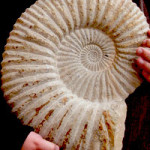 Spiral in an Ammonite Fossil